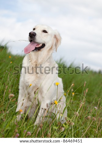 Labrador retriever lying in green grass - blue sky on background - stock photo