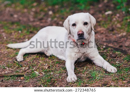 Labrador retriever lying on the ground in the forest