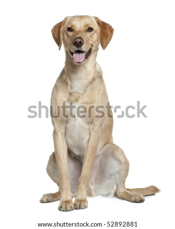 Labrador retriever, 20 months old, sitting in front of white background - stock photo