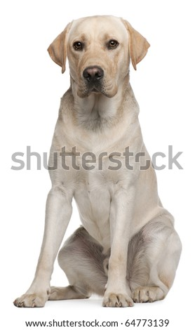 Labrador Retriever, 14 months old, sitting in front of white background - stock photo