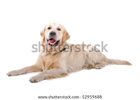 Labrador retriever on a white background - stock photo