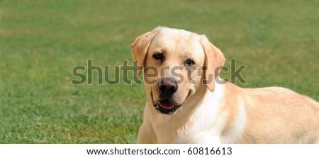 Labrador Retriever on grass - stock photo