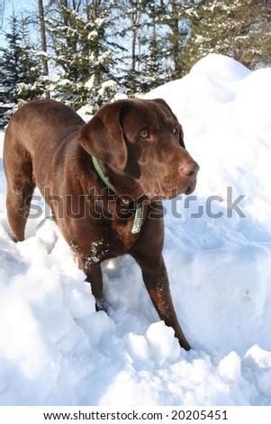 labrador retriever on snowbank - stock photo