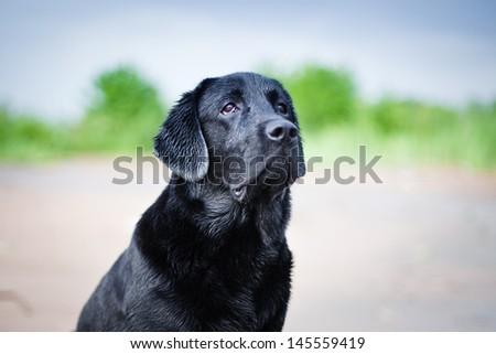 Labrador retriever on the beach - stock photo