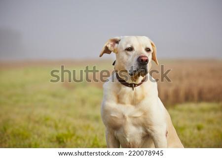 Labrador retriever on the field in autumn. - stock photo