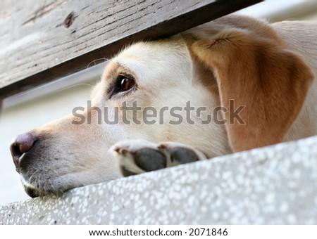 Labrador retriever on the porch - stock photo