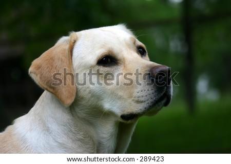 Labrador retriever outdoor portrait. - stock photo