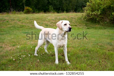 Labrador Retriever Playing Outside on Green Grass Field - stock photo