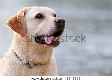 Labrador retriever portrait - stock photo