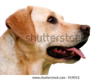 Labrador Retriever portrait, carefully isolated. - stock photo
