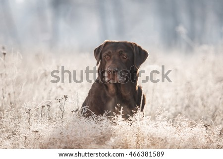 Labrador Retriever Portrait in Frosted Grass