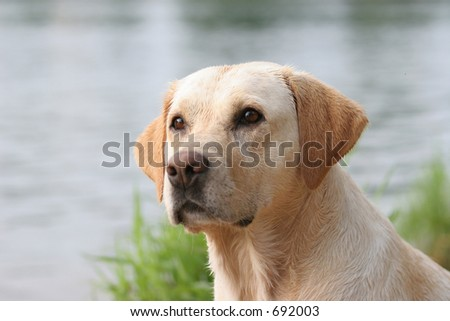 labrador retriever portrait, wet coat - stock photo
