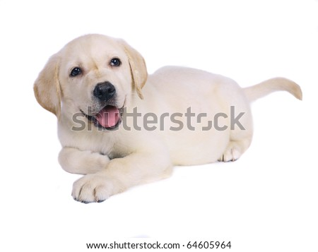 Labrador retriever puppy. - stock photo