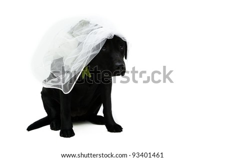 Labrador retriever puppy bride with veil - stock photo
