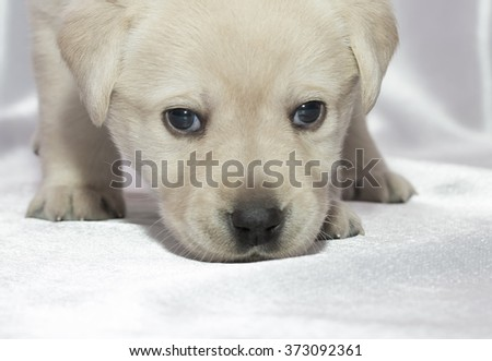 Labrador retriever puppy. close up.