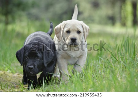 Labrador retriever puppy in garden - stock photo