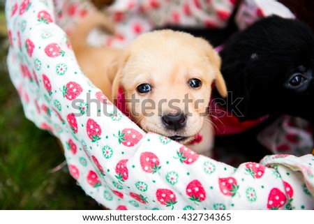 Labrador retriever puppy in the park on the nature.