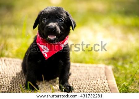 Labrador retriever puppy in the park on the nature. Labrador retriever puppy in the yard - stock photo