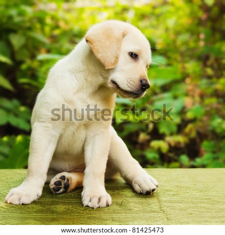 Labrador retriever puppy in the yard (shallow dof) - stock photo