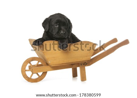 Labrador Retriever puppy is sitting in hand truck isolated over white background - stock photo