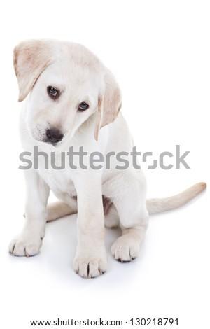 Labrador retriever puppy isolated - stock photo