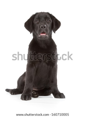 Labrador Retriever Puppy isolated on white - stock photo