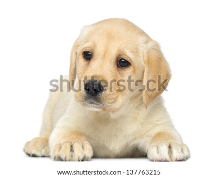 Labrador Retriever Puppy lying down, 2 months old, isolated on white - stock photo
