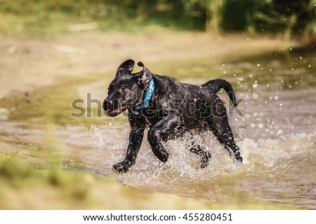 Labrador retriever puppy playing at the water. Wet dog outdoor