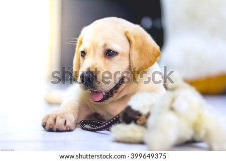 Labrador retriever puppy playing doll backlit - stock photo