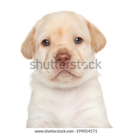 Labrador retriever puppy, portrait on a white background - stock photo