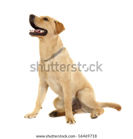 labrador retriever puppy seated on a white background - stock photo