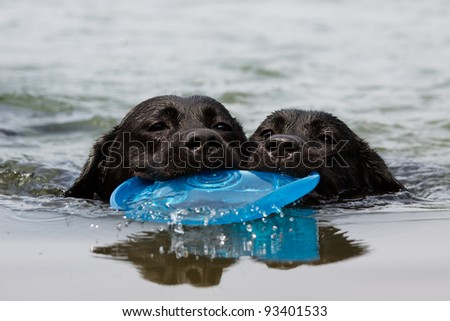Labrador retriever puppy swim with Frisbee - stock photo