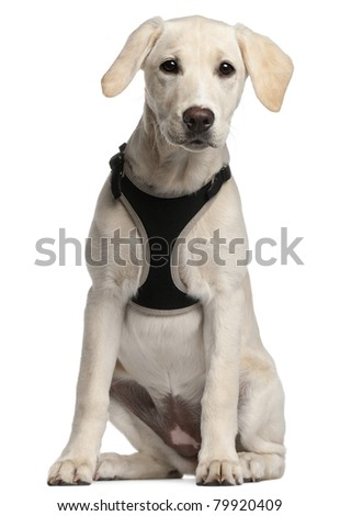 Labrador Retriever puppy, 16 weeks old, sitting in front of white background - stock photo