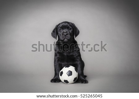 Labrador retriever puppy with ball on grey background