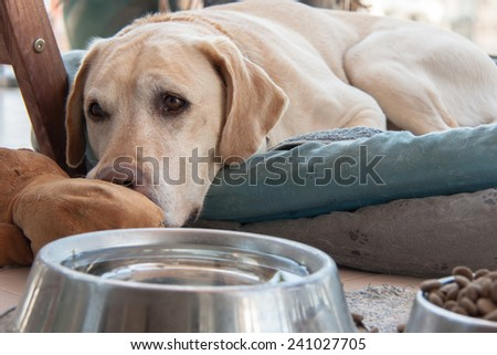 Labrador Retriever resting at its bed near its water and food at home - stock photo