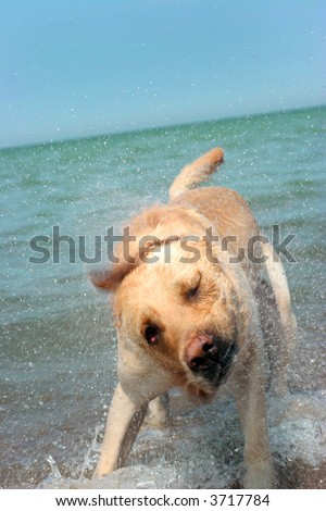 Labrador retriever retrieving the stick in its natural environment - stock photo