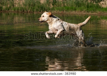 labrador retriever running through water - stock photo