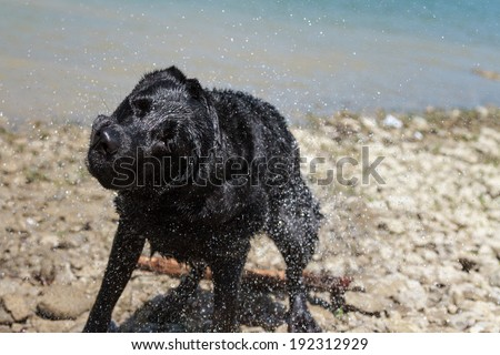 Labrador Retriever shaking off water after a swim - stock photo