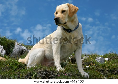 Labrador retriever sitting on the mountain path, more than 2000 meters high (the sky color is natural) - stock photo