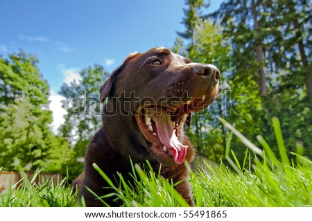 Labrador Retriever smiling as he is laying down in grass