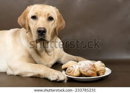 Labrador retriever with a plate full of kanelbulle