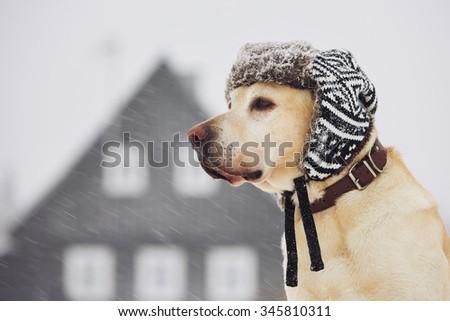 Labrador retriever with cap on his head in winter  - stock photo