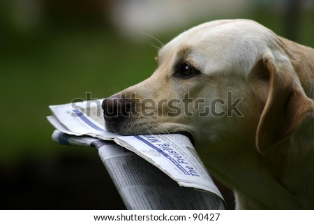 Labrador Retriever With News - stock photo