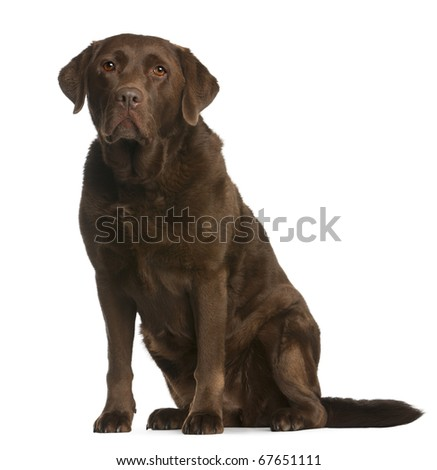 Labrador Retriever, 8 years old, sitting in front of white background - stock photo