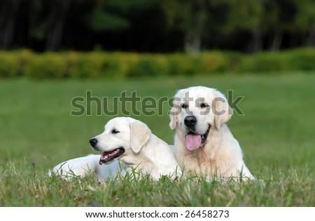 Labrador retriver. best of breed - stock photo