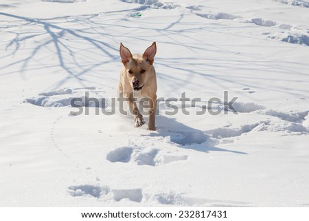 Labrador runs in snow