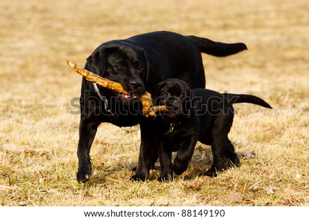 Labrador's retriever mom and daughter carrying stick - stock photo