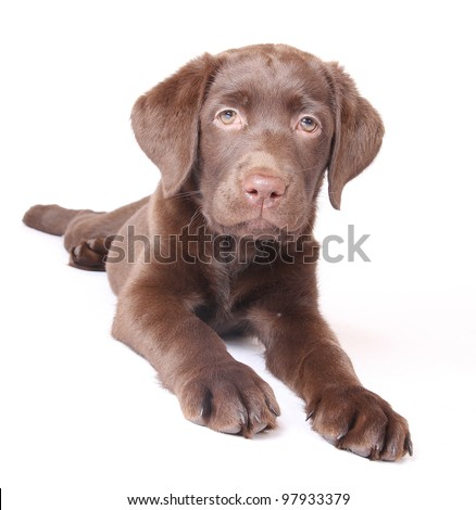 labrador sitting dog
