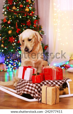 Labrador sitting near sledge with present boxes on wooden floor and Christmas tree background - stock photo