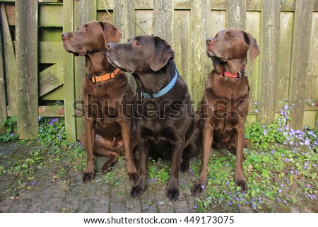 Labrador trio, two males and a female. Chocolate brown